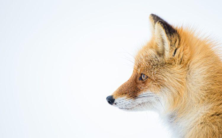 Szczepienia lisów wolno żyjących przeciw wściekliźnie na terenie woj. mazowieckiego